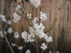 さくらんぼの花が咲いた