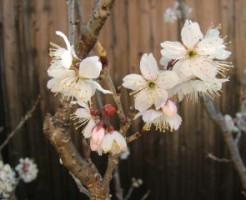 さくらんぼの花、アップ