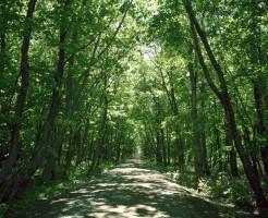 緑の並木道